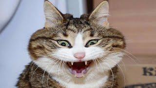 КОТЫ 2020 ПРИКОЛЫ С КОТАМИ И КОШКАМИ РЖАКА ДО СЛЁЗ FANNY CATS 2020