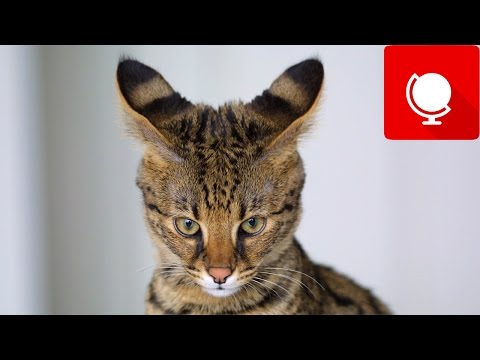 20 Most Expensive Cats in the World