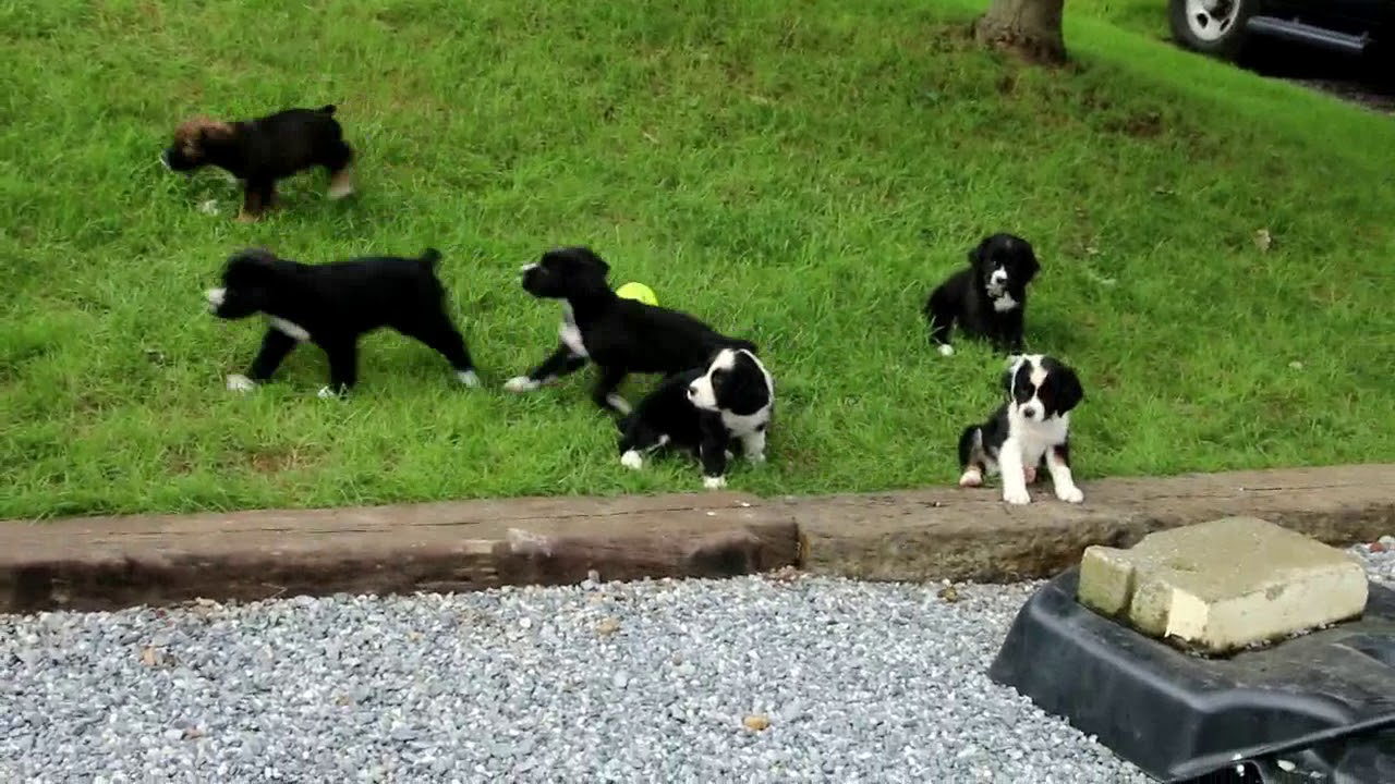 English Springer Spaniel Mix Puppies for Sale Mervin Fisher