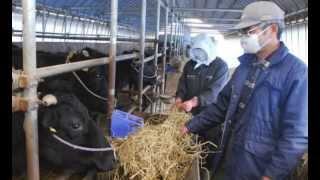 Japan Govt Buys Fukushima Milk Farms 100,000 Tons Year Export
