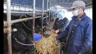 Japan Govt Buys Fukushima Milk Farms 100,000 Tons Year Export