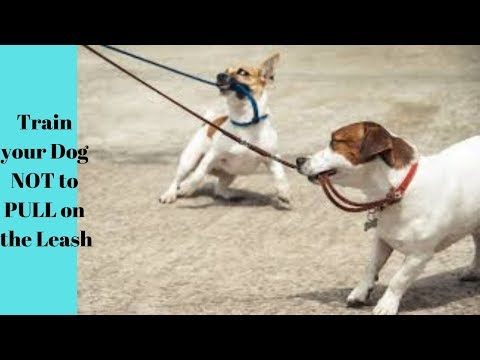how-to-train-your-dog-not-to-pull-on-the-leash!-stop-chasing-or-lunging-at-cars-on-a-walk!