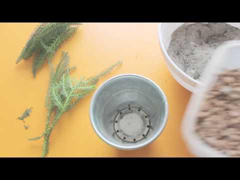 Как размножить араукарию в домашних условиях
