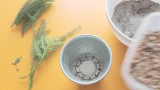 видео Размножение араукарий