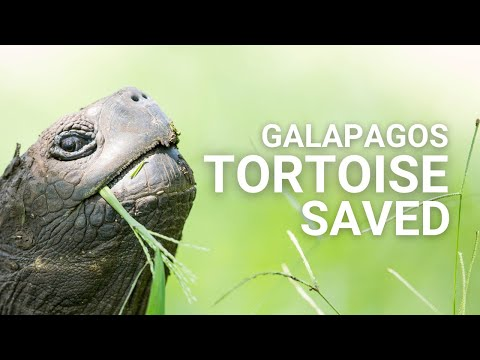 Saved from extinction – Tortoises return to their island in Galapagos
