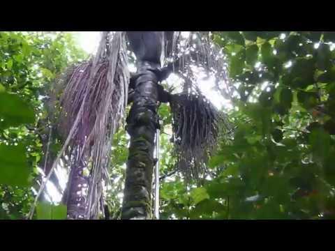 Coletas de cachos de Patauá (Oenocarpus bataua Mart) usando a PALMHASTE