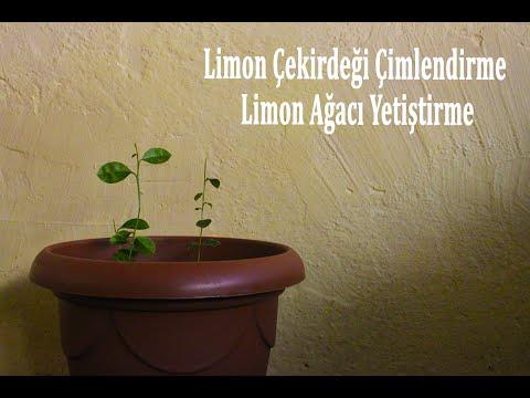 Limon çekirdeği çimlendirme,Limon Çekirdeğinden Limon Ağacı Yetiştirme (lemon Tree)
