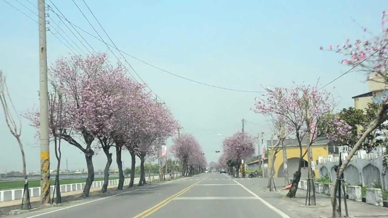 雲林景點土庫櫻花大道-綿延二公里的粉紅櫻花大道