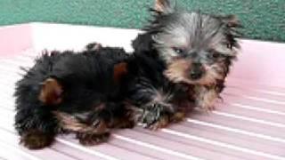 1月17日生まれのヨークシャーテリアの子犬達です。とても小さくて 愛嬌...