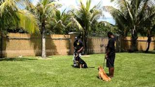 K9 Enforcement  Training Obedience In Miami Florida