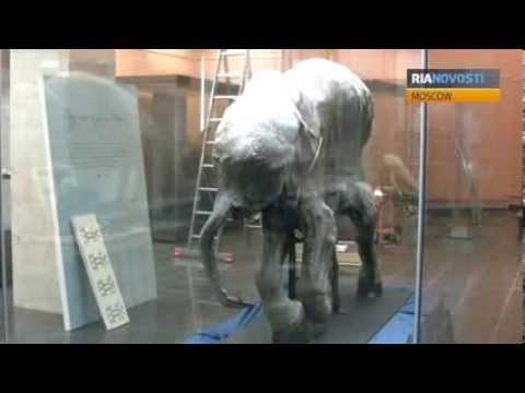 Baby Mammoth Lyuba Heads Home