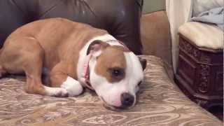 Sadie's Egg Toy - Staffordshire Bull Terrier