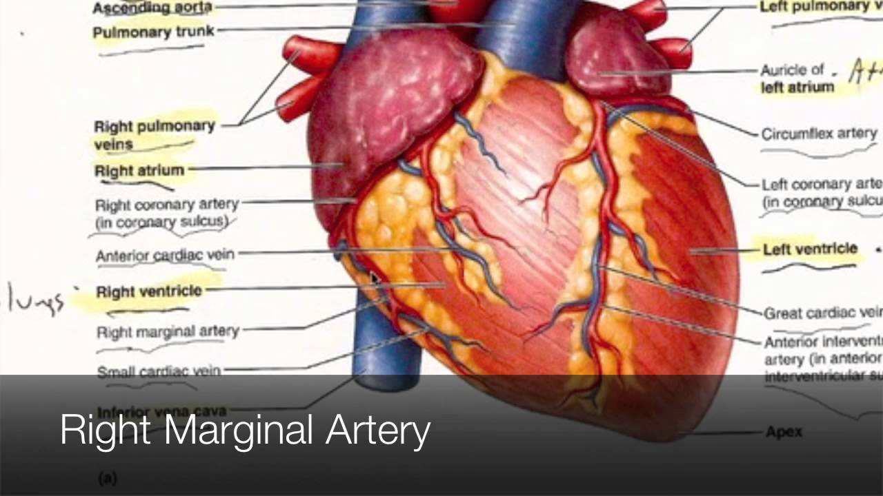 The Anatomy Of External Heart Labeled