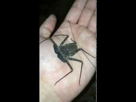 Wild Tailless Whip Scorpion