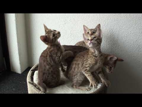 Meulicats Ocicats kittens Vichy 2019 09 08