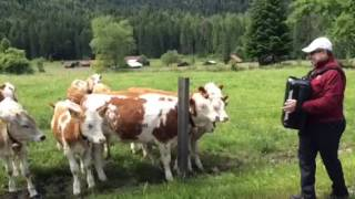Cows love accordion music
