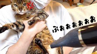 女王猫にシャンプー後のドライヤーさせて頂いたら激怒された…