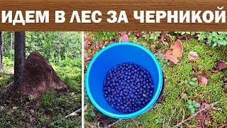 В Лес За ЧЕРНИКОЙ