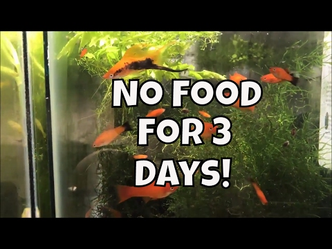 No Food In Any Tank For Three Days! How Long Can Fish Go Without Food Aquarium Fish Room VLOG