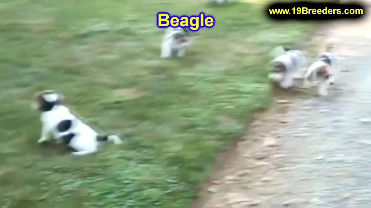 Beagle, Puppies, Dogs, For Sale, In Albuquerque, New ...