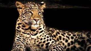 Супер фильм! Леопарды дельты Окаванго! Документальные фильмы, фильмы о животных