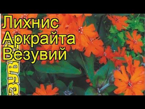 Лихнис обыкновенная Везувий. Краткий обзор, описание характеристик lychnis Vesuviy