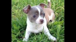 Продажа щенков - Чихуахуа, девочка лилово-белая
