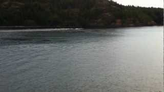 dolphins chased by killer whales (orcas) Quadra island