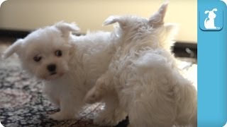 Super Slow Motion Maltese Puppies Playing - Puppy Love