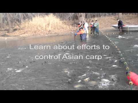 100,000 Pounds of Asian Carp