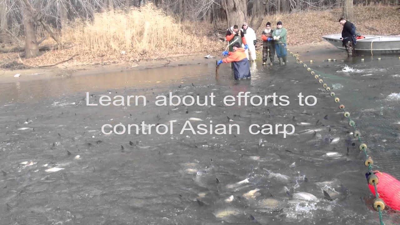 Asian carp utube photos 623