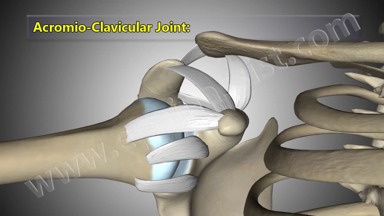 Shoulder Joint Anatomy Explained Glenohumeral Acromio Clavicular