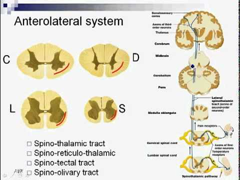 Spinal Tracts Sensory Pathways - YouTube