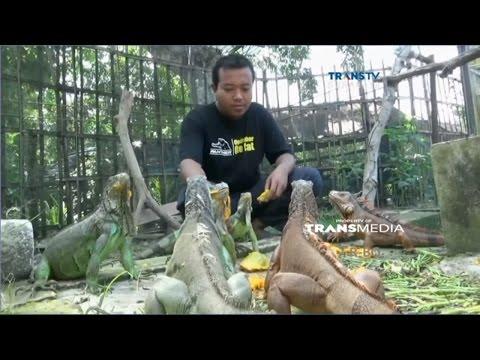 Berkah Ternak Iguana Beromzet Belasan Juta