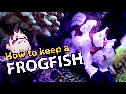 FROGFISH 101: The Frogfish Files (info Heavy)