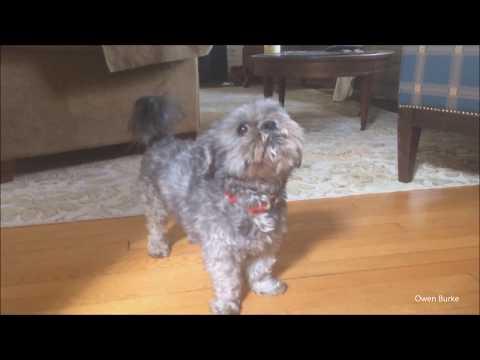 Dog singing 'Happy Birthday'