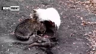 Коты пожирают труп собаки