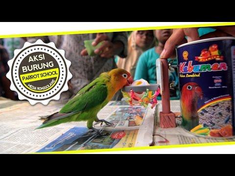 DUNIA HOBI : Video Lucu ! Unik ! Parrot Training School For Lovebird