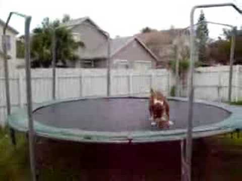 Crazy dog is jumping on trampoline