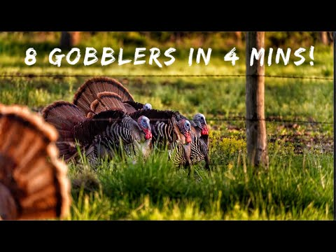 8 GOBBLERS in 4 mins with A BOW! | Bowmar Bowhunting |