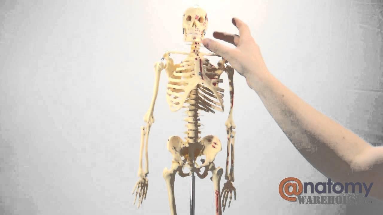 Painted And Numbered Big Tim Skeleton Anatomy Model by ...