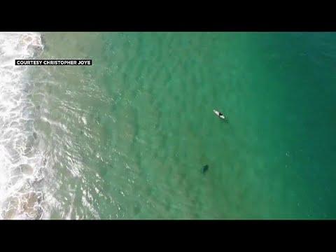 Video   Köpek balığının saldırısından drone ikazı ile kurtuldu