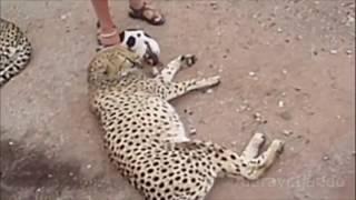 Дружба животных видео, топ 10 союзов между животными