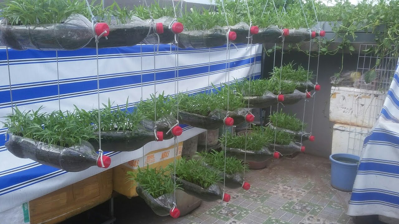 Rau Muống treo 3 tầng , tận dụng chai 1,5 lit trồng được nhiều Rau  | Khoa Hiên 317