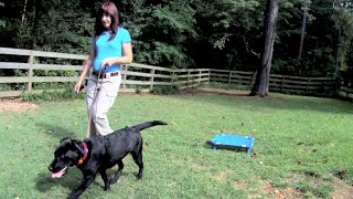 Puppy Training, Scarlett, Lab, Day 5: Off Leash Recall And Starting Heel