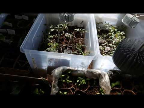 рассада томатов,фиолетовая нижняя сторона листа под светодиодными лампами 2