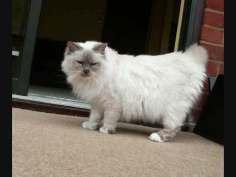 Remembering Emily, The Birman Cat