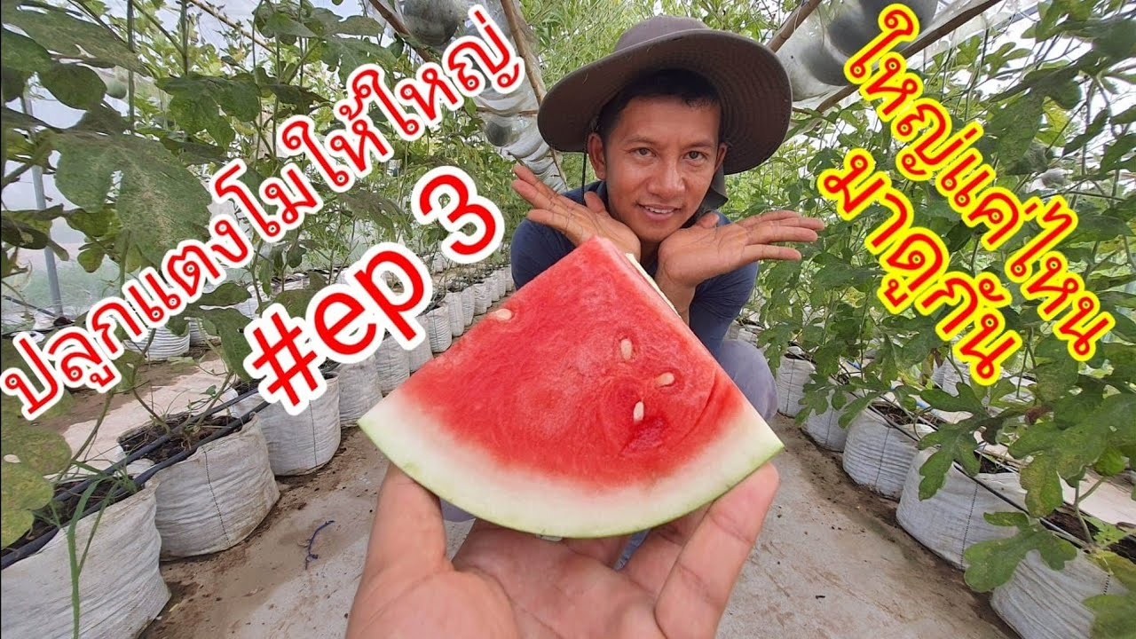 ปลูกแตงโมให้ลูกโต EP3