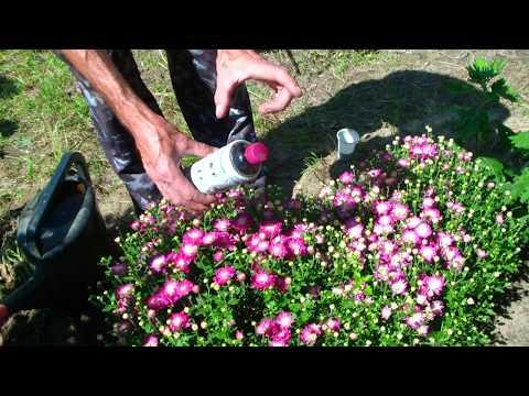 Вопрос: Чем подкормить хризантемы для цветения?