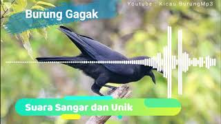 Download Masteran Suara Burung Gagak   Kicau Burung mp3